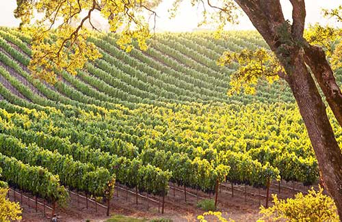 temecula-vineyard